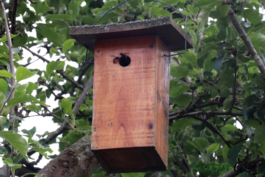Avispa asiatica caja nido Asturias NaturGIS