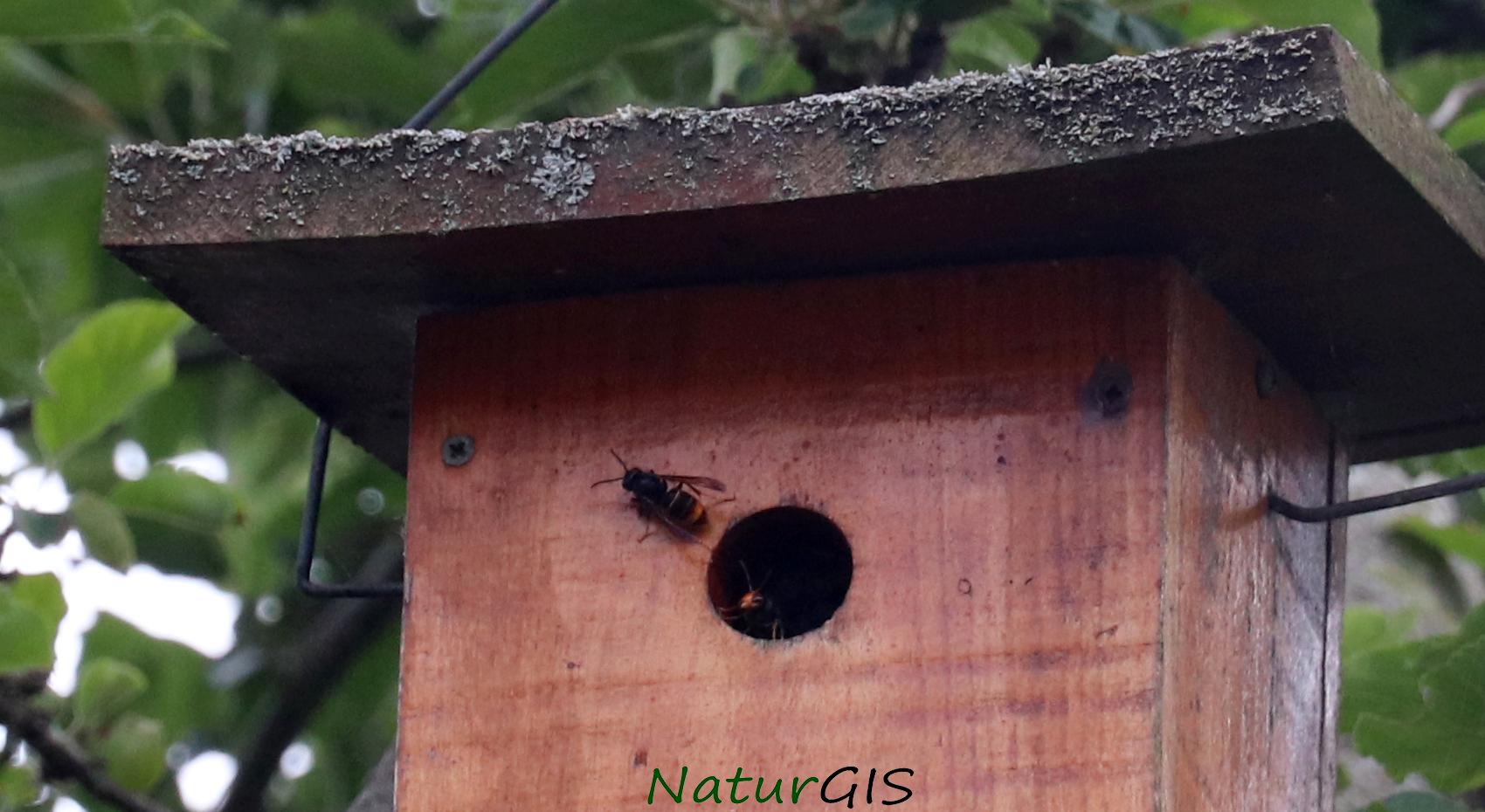 Avispa asiática en una caja nido en Asturias