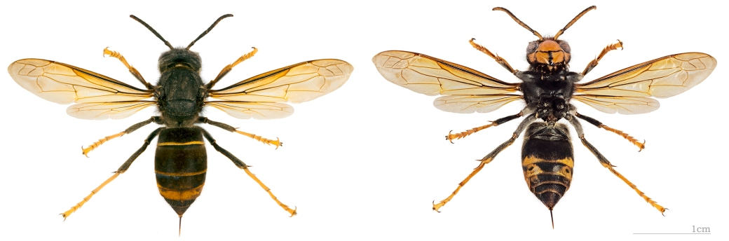 Morfología de la Avispa asiática Vespa vetulina