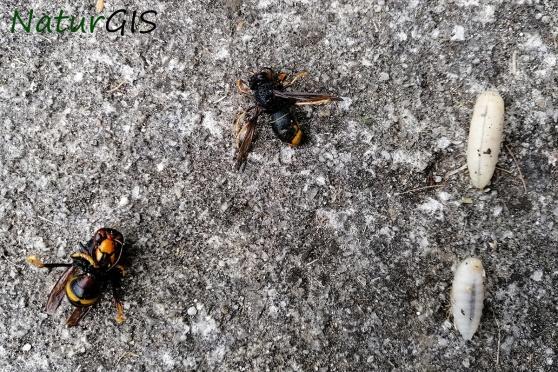 larvas avispa asiatica asturias naturgisEjemplares y larvas de la Avispa asiática Vespa vetulina en el Principado de Asturias