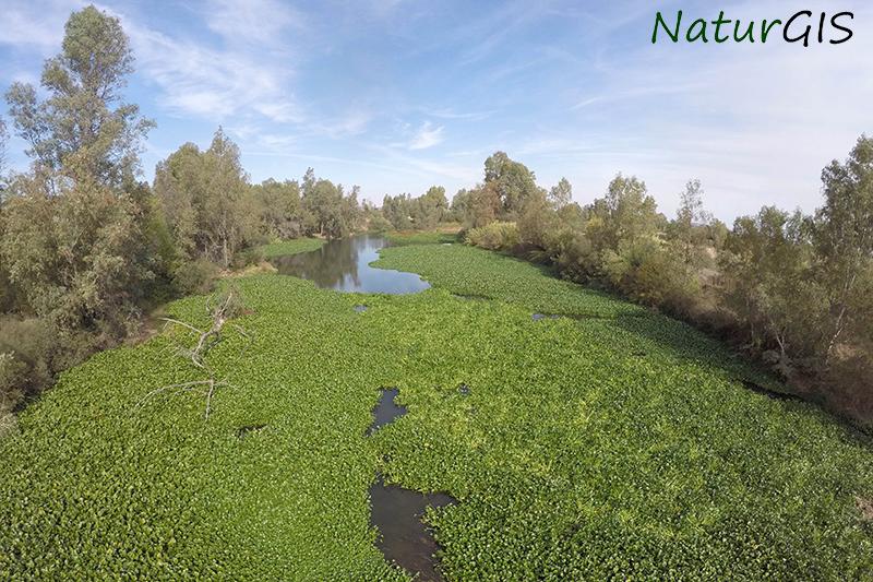 Camalote a vista de dron sobre el río Guadiana