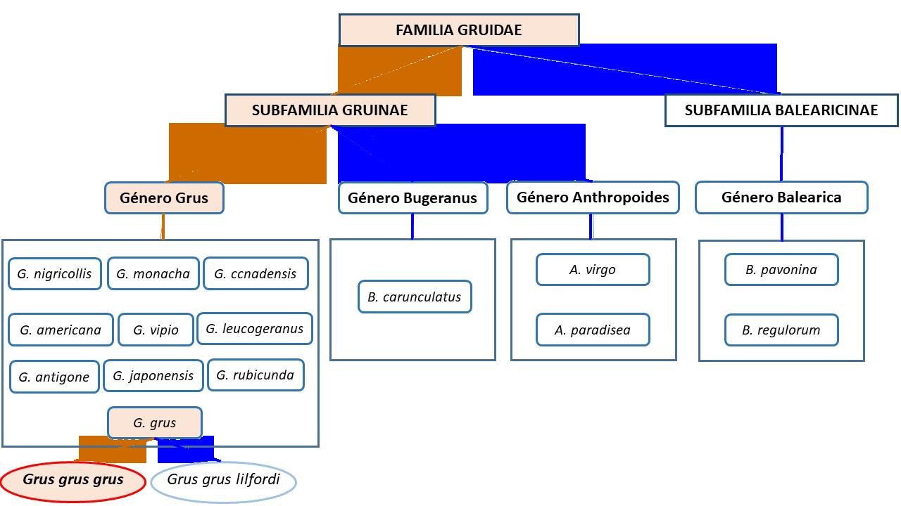 Clasificación taxonómica de la Familia Gruidae